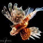 Oroszlán hal (Lionfish, Pazifischer Rotfeuerfisch, Pazifischer Rotfeuerfisch)